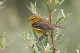 Prairie Warbler on Olive