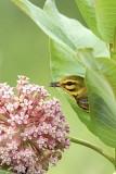 Prairie Warbler on Milkweed
