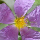 Tiny grasshopper (1 cm)