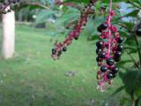berries .jpg