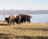 Bison at Lake Yellowstone.jpg