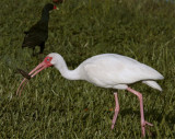 Ibis with crayfish.jpg