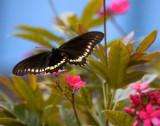 Black Butterfly Wings Spread.jpg