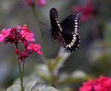 Black Butterfly in Flight_filtered.jpg