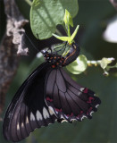 Black Butterfly Hanging from leaf.jpg