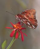 Monarch Butterfly in garden_filtered.jpg