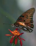Monarch Butterfly on flower in butterfly garden.jpg