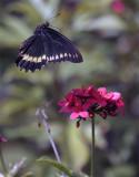 Black Butterfly Flying over flower.jpg