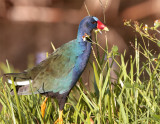 Purple Gallinule in the tall grass.jpg