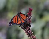 Monarch in Butterfly Garden on Purple Flower 3.jpg