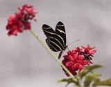 Striped Butterfly on Red Flower.jpg