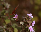 Butterfly on a pink flower at Circle Bar B.jpg