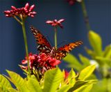 Orange butterfly on red flower 3.jpg