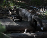 Colter Bay Black Fox Kit Climbing Over Log.jpg