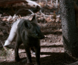 Colter Bay Black Fox Kit Next to Tree.jpg