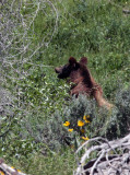 Teton Grizzly Near Jackson Lake Lodge.jpg
