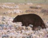 Black Bear in the Meadow Near Roosevelt Junction.jpg