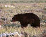 Black Bear in the Meadow Near Roosevelt Junction 2.jpg