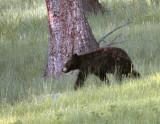 Black Bear on the Hill Near Tower Junction Closer.jpg