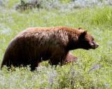 Cinnamon Black Bear in the Field.jpg