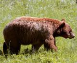 Cinnamon Black Bear in the Field 2.jpg