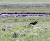 Lamar Valley Black Wolf By the River.jpg