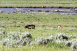 Lamar Valley Black Wolf Dogged by Two Coyotes.jpg