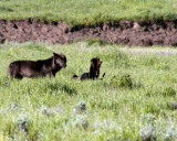 Lamar Valley Black Wolf on an Old Carcass.jpg