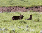Lamar Valley Black Wolf on an Old Carcass Looking Back.jpg