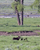 Lamar Valley Black Wolf On an Old Carcass Under the Tree.jpg