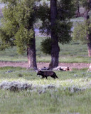 Lamar Valley Black Wolf Under the Trees.jpg
