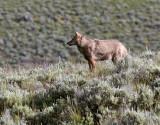 Lamar Valley Coyote on the Hillside.jpg
