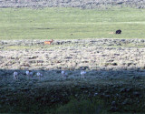 Lamar Valley Grizzly on a Bison Carcass While Wolves Wait and Elk and Antelope Watch.jpg