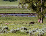 Lamar Valley Two Coyotes Facing Down a Black Wolf.jpg