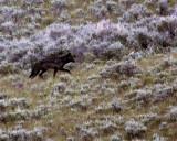 Lamar Valley Wolf on the Hillside.jpg