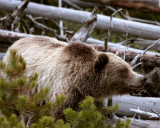 Mt Washburn Grizzly Coming Through the Bushes Close.jpg