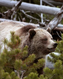 Mt Washburn Grizzly Coming Through the Bushes Vertical.jpg