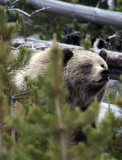 Mt Washburn Grizzly in the Bushes Vertical.jpg