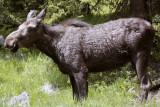 Female Moose Near Cody Full Body.jpg