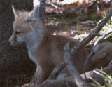 Colter Bay Fox Kit Sitting Pretty.jpg