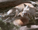 Colter Bay Fox Kits Playing 2.jpg