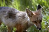 Colter Bay Mother Fox.jpg