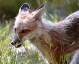 Colter Bay Mother Fox 2.jpg
