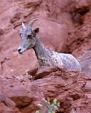 BIg Horn Sheep Ewe Above the Rock.jpg
