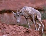 Big Horn Sheep Ewe Climbing.jpg