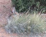 Devils Garden Devils Rabbit.jpg