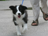 Sheepdog at 16 Weeks
