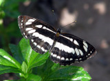 Common Sailor - Neptis hylas