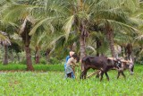 Agriculture is the main livelyhood in the Belur area