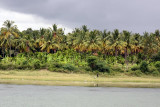 Coconut groves in Hassan district